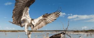 everglades hawk