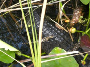 AIRBOAT IN EVERGLADES 2020